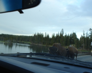 This bison pair eyed us closely as they passed in the other lane on the bridge.